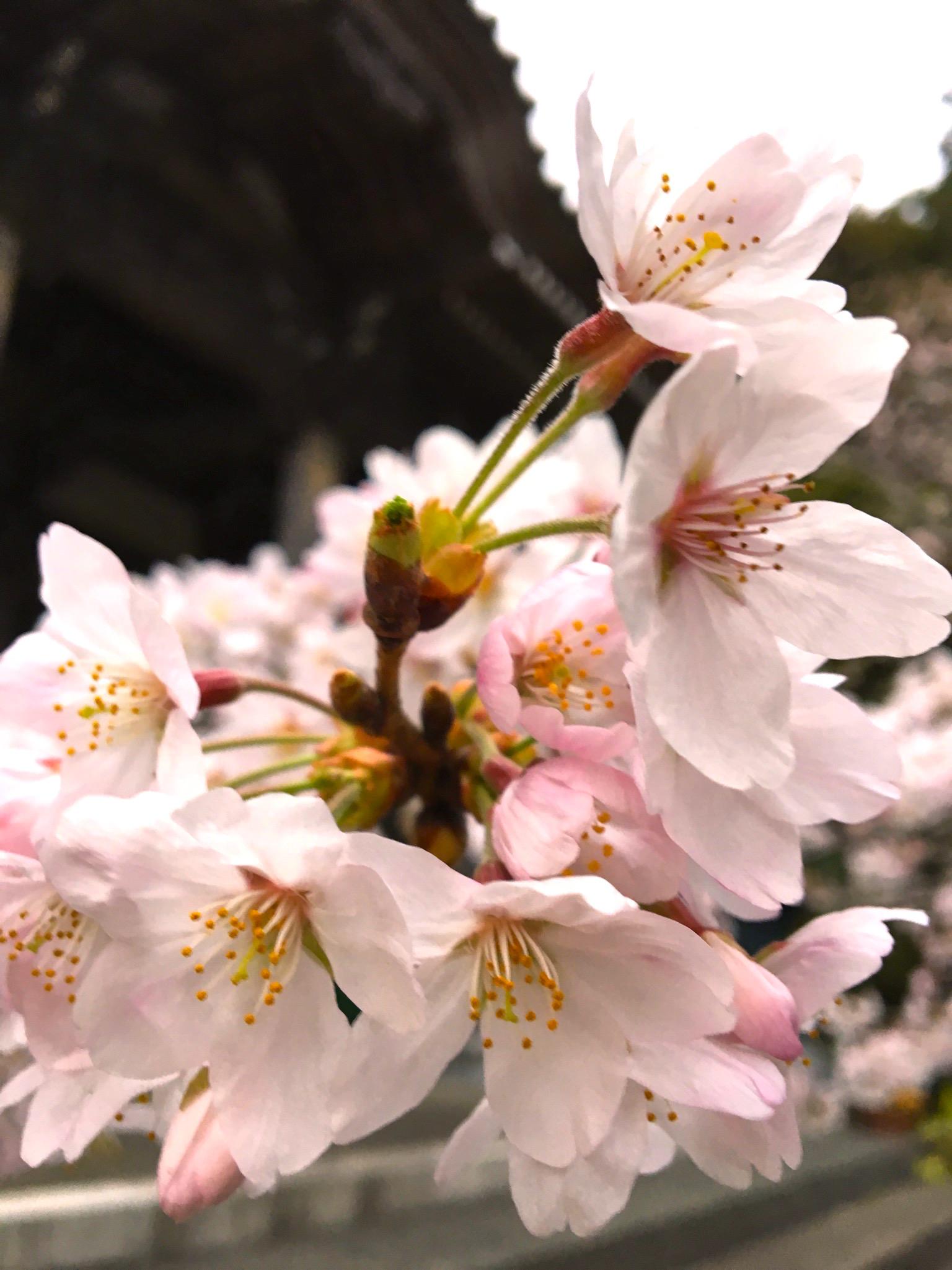 地元のお寺でお花見