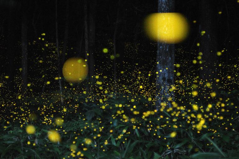 黄色い光を発している蛍