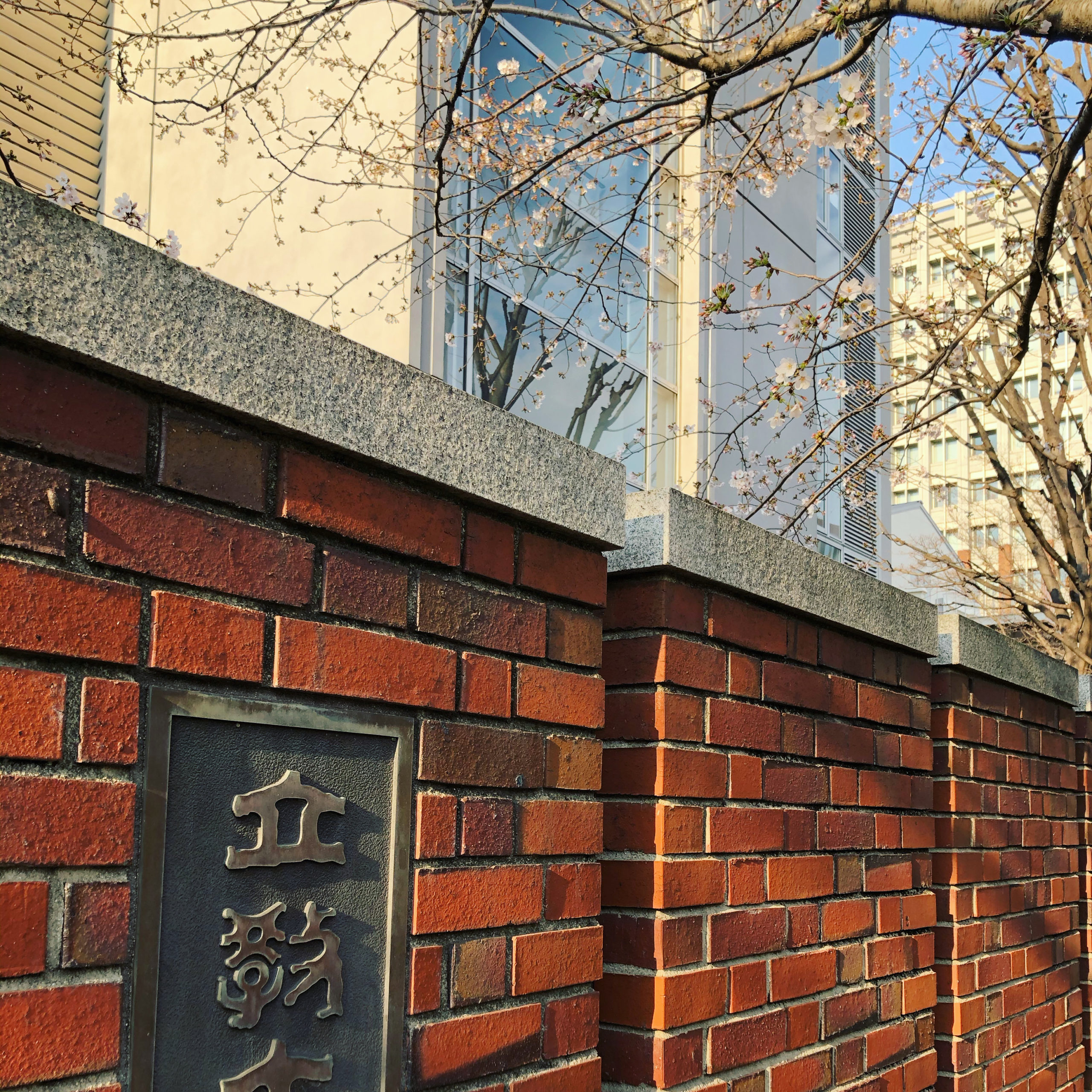桜咲く大学キャンパス。卒業式がなくなって残念でありました。